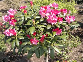 Rhododendron 037